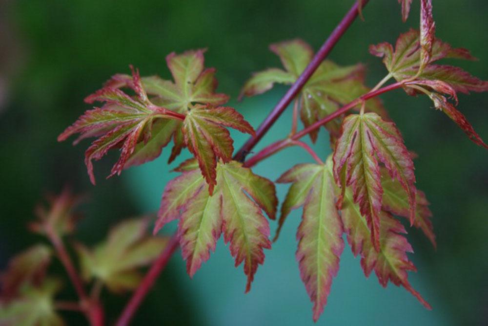 Acer Sango Kaku Foglie colorate in autunno